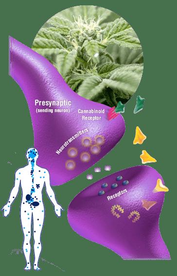 Herbalist Oils CBD
